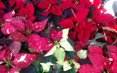 'Tis the season for poinsettias at Picker Place